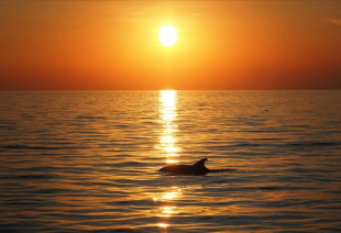 Dolphin sunset_1